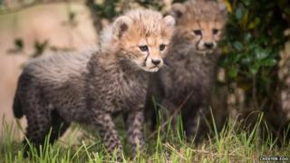 northern cheetah cubs