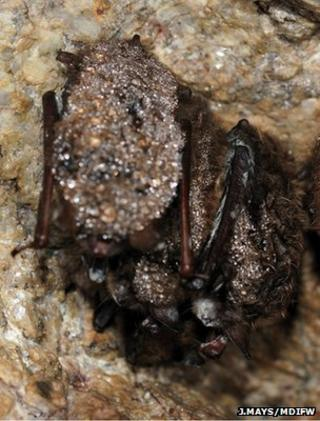 Cluster of little brown bats infected with WNS (Image: Jonathan Mays, Wildlife Biologist, Maine Department of Inland Fisheries and Wildlife)