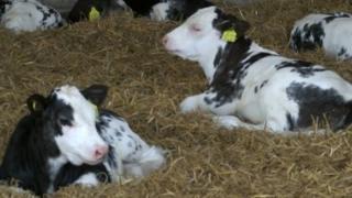 Calves resting in a barn