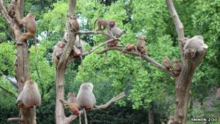 Emmen Zoo baboons in trees