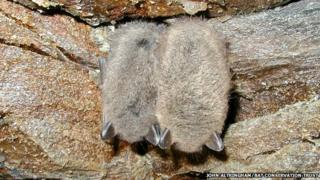 Two hibernating bats