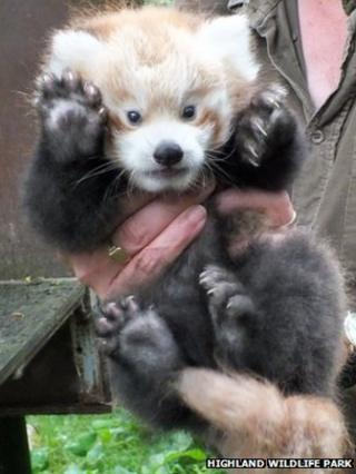 Red panda Kush