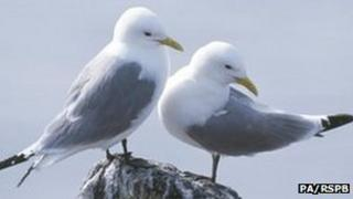A pair of kittiwakes