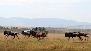 Tourists watch a herd of Wildebeest run through a field during the annual wildebeest migration through the Massai Mara National park in western Kenya - 2008