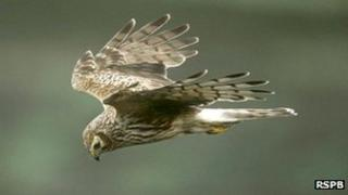 A female hen harrier in flight