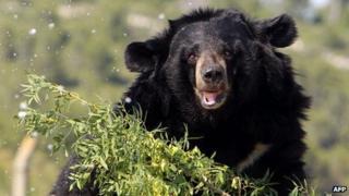 An Asian black bear