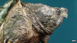 Alligator snapping turtle - file pic