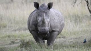 File photo of a white rhino in Kenya