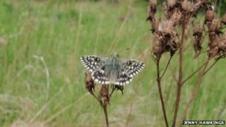 The grizzled skipper