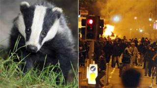 Badger and rioters