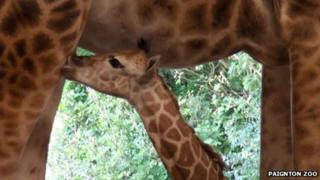 Paignton's Zoo Rothschild's giraffe, August 2013
