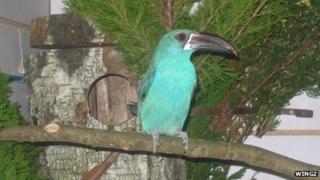 A crimson rumped toucanet
