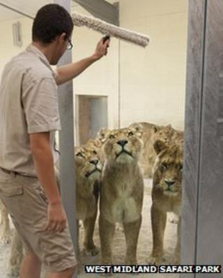 Lions watching glass being cleaned