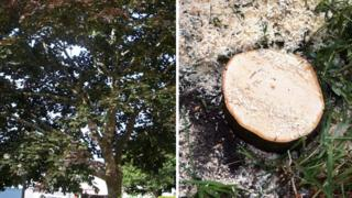 Hospital Road black maple before and after felling, 23 August 2013