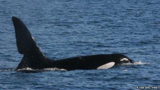 Killer whale John Coe