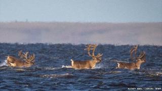 Reindeer in sea off Taimyr Peninsula, 21 Aug 13