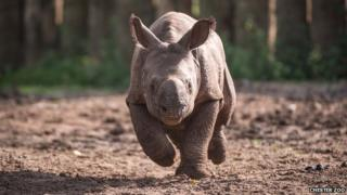 Komala the Indian rhino