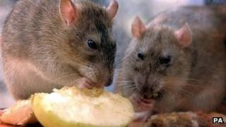 Two rats eating apples