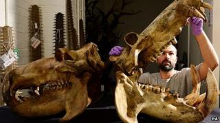 Dan Gordon, Keeper of Biology at Tyne and Wear Archives and Museums views a pair of hippo skulls at the Discovery Museum in Newcastle