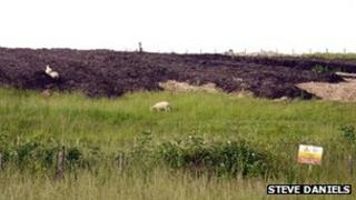 Sheep grazing on the land-fill site