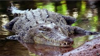 File photo: a saltwater crocodile