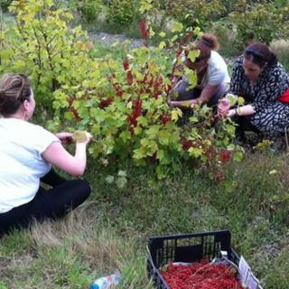 Gleaning redcurrants