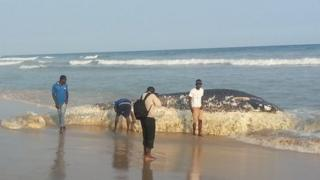 Dead whale on Ghana beach