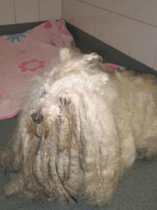 Bichon frise cross poodle