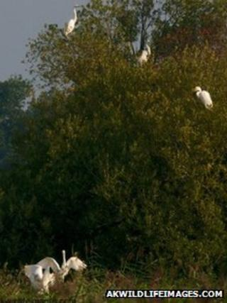 A great white egret family at RSPB Ham Wall