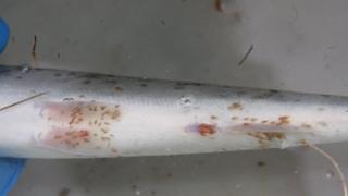 Sea lice on underbelly of wild juvenile sea trout