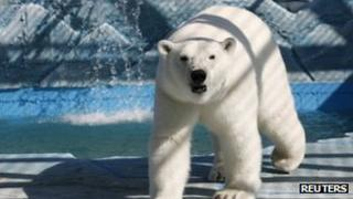 Aurora, a three-year-old female polar bear, walks in its new open air cage at the Royev Ruchey zoo on the suburbs of Russia's Siberian city of Krasnoyarsk 30 August 2013
