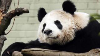 Tian Tian, the giant panda resident at Edinburgh Zoo in the UK