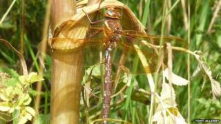 The brown hawker dragonfly