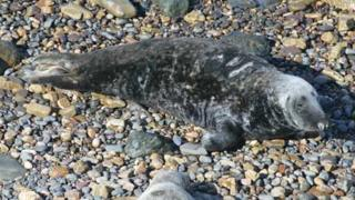 The male grey seal