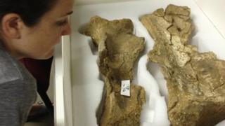 Mammoth shoulder blades found at La Cotte de St Brelade