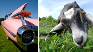 car and goat