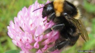 Short-haired bumblebee (Nikki Gammans)