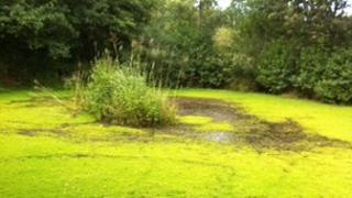 Pond filled with Parrot's feather near Hatherleigh in West Devon