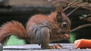 Baby red squirrel