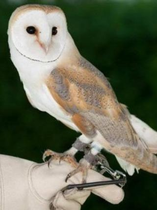 Darcy the Barn Owl