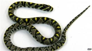 This Australian Government Department of Agriculture handout photo received on 23 September 2013 shows a small snake, identified as a Mandarin rat snake predominantly found in Asia, which forced the grounding of a Tokyo-bound Qantas flight in Sydney on 22 September after being found near the doorway of the plane