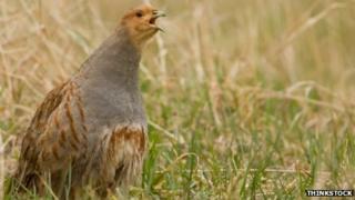 A partridge