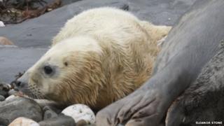 Isle of Man seal pup