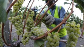 Harvesting grapes in the Napa Valley