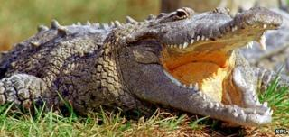 An American crocodile
