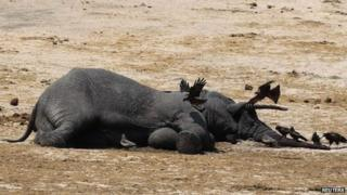 The carcass of an elephant which was killed after drinking poisoned water lies near a water hole in Zimbabwe's Hwange National Park on 27 September 2013