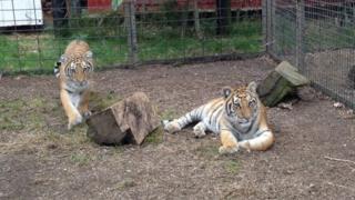 Tiger cubs Bora and Nikita