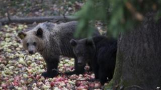 Bear cubs at a rescue centre in central Russia (file photo)