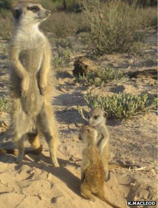 Adult meerkat and two pups (Image: Kirsty Macleod)