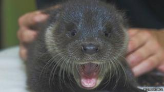 Murkle the otter pup.